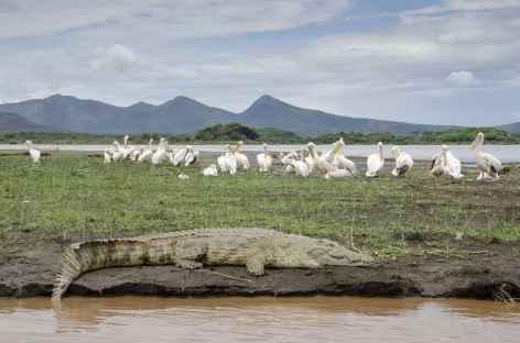 Crocodile et pélicans dans le Parc national de Nechisar, lac Chamo, Vallée de l'Omo - Ethiopie -