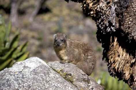 Daman des rochers, Mont Kenya - Kenya -