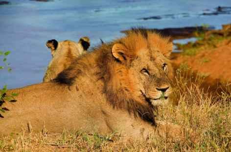 Lion à Amboseli - Kenya -