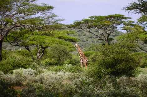 Girafe dans le Parc national d'Amboseli - Kenya -