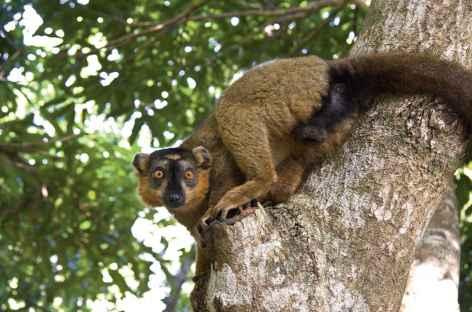 Lémurien, Parc national de Ranomafana - Madagascar -