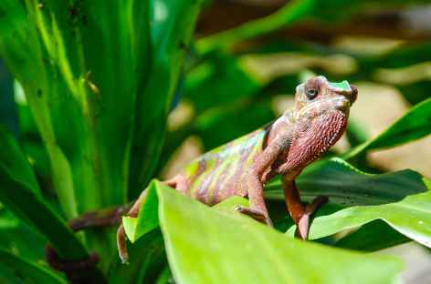 Caméléon - Madagascar -