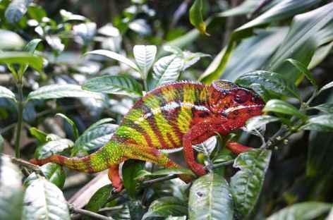 Joli caméléon ! - Madagascar -