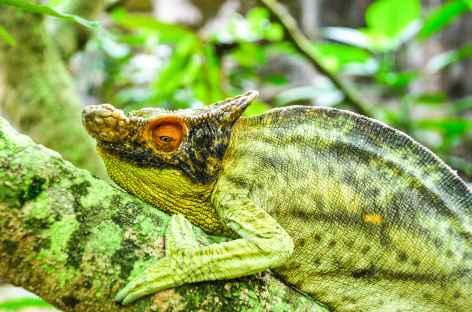Caméléon étonnant, Réserve de Peyrieras - Madagascar -
