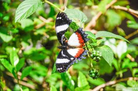 Papillon dans le Parc national d'Andasibe - Madagascar -