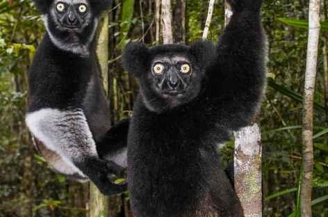 Lémurien Indri Indri, Parc national d'Andasibe - Madagascar -