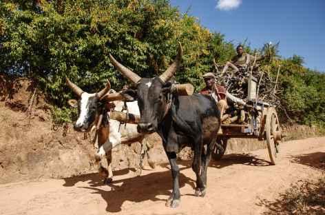 Attelage de zébus - Madagascar -