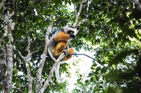 Lémurien propithèque à diadème, Parc national d'Andasibe - Madagascar -