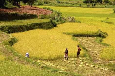 Rizières dans la campagne betsileo - Madagascar -