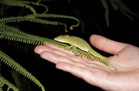 Petit caméléon - Madagascar -