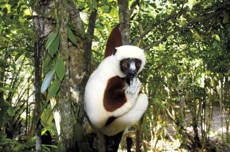 Lémurien dans le Parc national de Ranomafana - Madagascar -