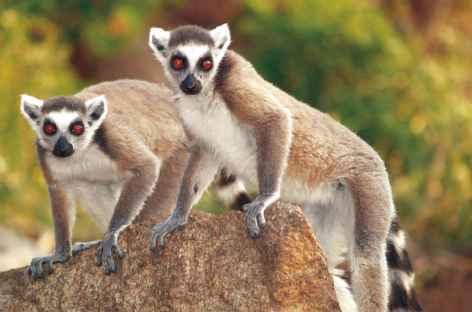 Makis cattas - Madagascar -