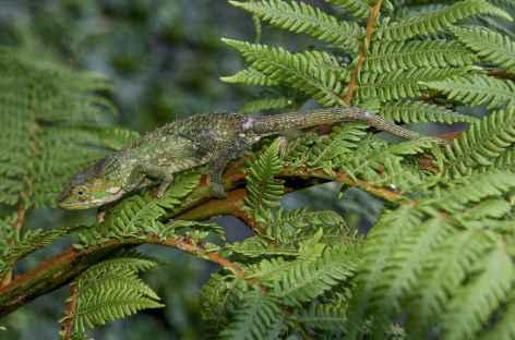 Caméléon dans le massif de l'Andringitra - Madagascar -