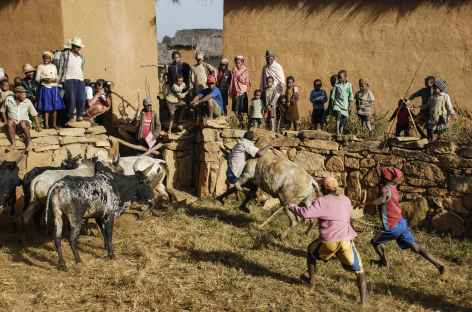 Rodéo malgache dans la campagne betsileo - Madagascar -