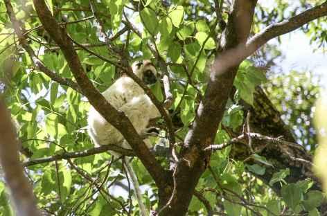 Lémurien dans le massif du Makay - Madagascar -