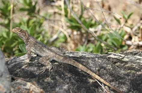 Gros lézard vers l'Isalo - Madagascar -