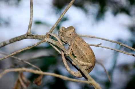 Caméléon, massif du Makay - Madagascar -