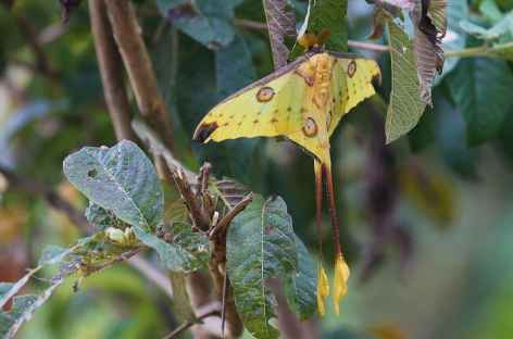 Papillon Comète, Parc national de Ranomafana - Madagascar -