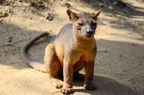 Le mystérieux et rare fossa, forêt de Marofandilia - Madagascar -