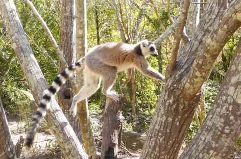 Maki catta dans l'Isalo - Madagascar -