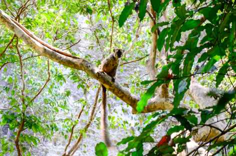 Maki brun, Parc national des Tsingy de Bemaraha - Madagascar -