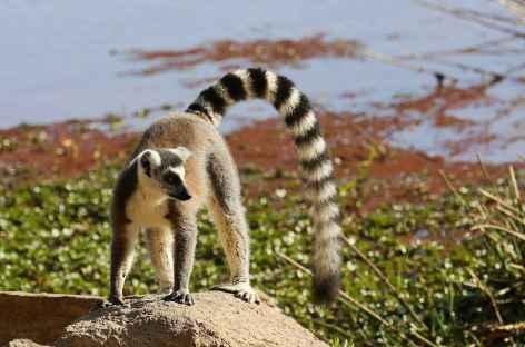 Lémurien maki Catta, réserve d'Anja - Madagascar -