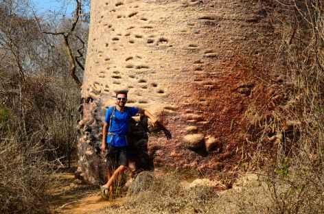 L'un des plus gros baobabs de la région, Kirindy Mite - Madagascar -