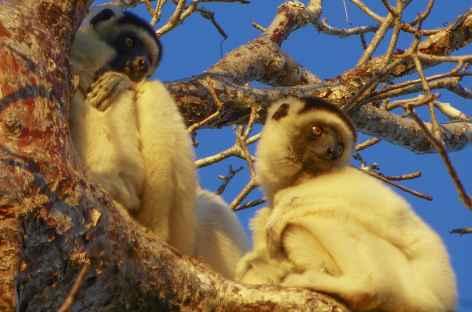 Lémuriens dans le Parc national de Kirindy Mite - Madagascar -