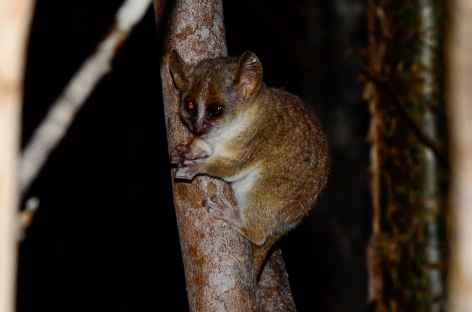 Lémurien nocturne, forêt de Marofandilia - Madagascar -