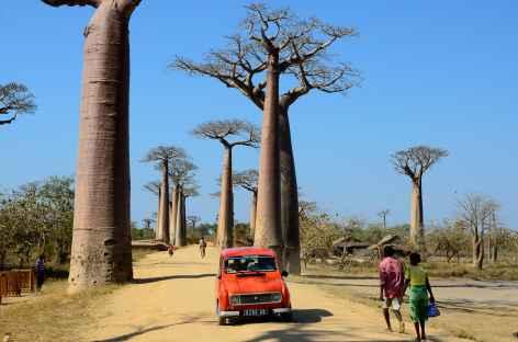 La célèbre Allée des Baobabs - Madagascar -