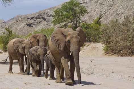 Eléphants du désert, lit de la rivière Aba-Huab - Namibie -