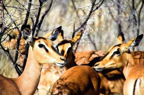 Springboks, Parc national d'Etosha - Namibie -
