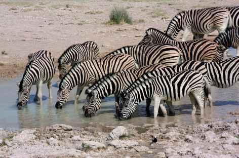 Zèbres au point d'eau, Parc national d'Etosha  - Namibie -