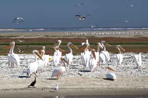 Pélicans à Walvis bay - Namibie -