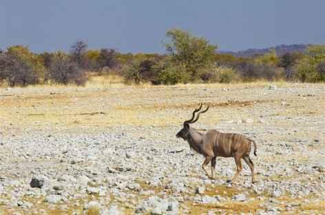 Koudou dans le Brandberg - Namibie -