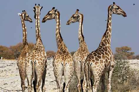 Girafes à Etosha - Namibie -