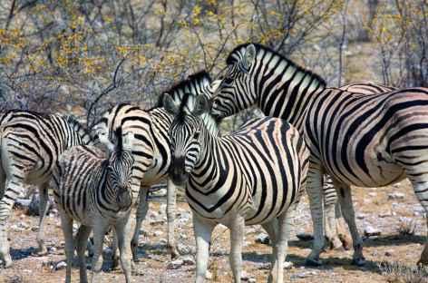 Zèbres, Parc national d'Etosha - Namibie -