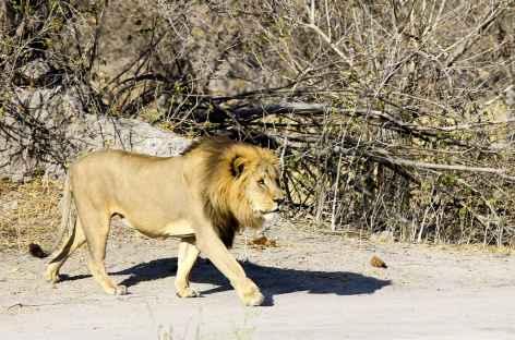 Lion, Parc national d'Etosha - Namibie -