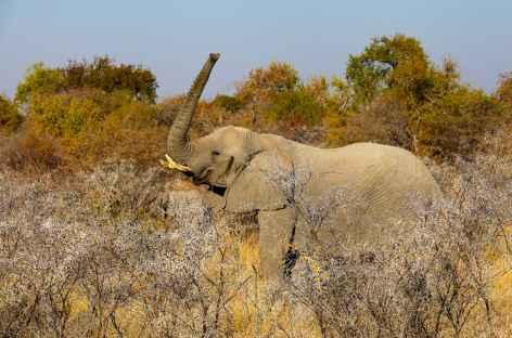 Elephant dans le Parc national d'Etosha - Namibie -