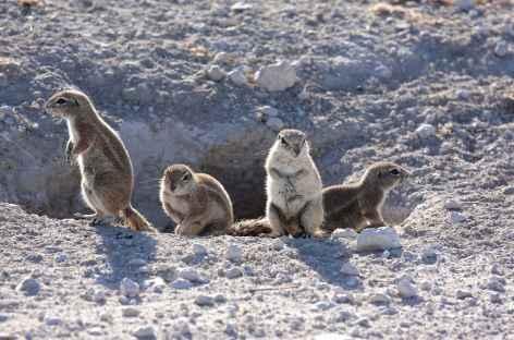 Écureuils terrestres - Namibie -