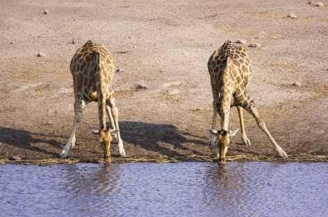 Girafes au point d'eau d'Okaukuejo, Etosha - Namibie -