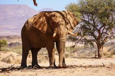 Elephant du désert -