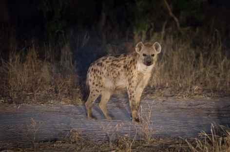 Hyene -