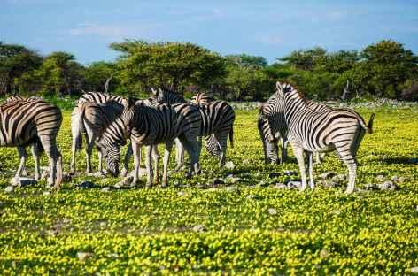 Zebres à Etosha - Namibie -