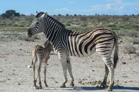 Zèbres à Etosha - Namibie -