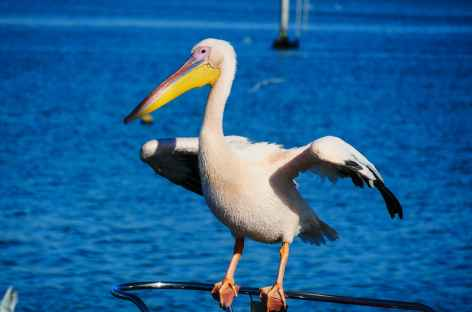Pélican - Walvis Bay - Namibie -
