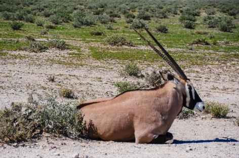 Oryx à Etosha - Namibie -