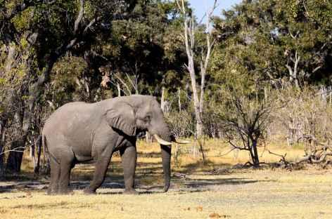 Elephant à dans la réserve de Moremi - Botswana -