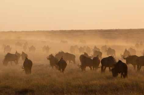 Troupeau de buffles, parc d'Etosha - Namibie -