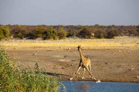 Girafe à Okaukuejo, parc d'Etosha - Namibie -